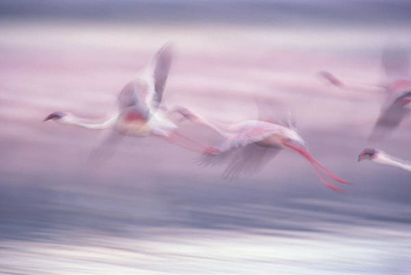 Photograph - Lesser Flamingo Phoenicopterus Minor by Gerry Ellis