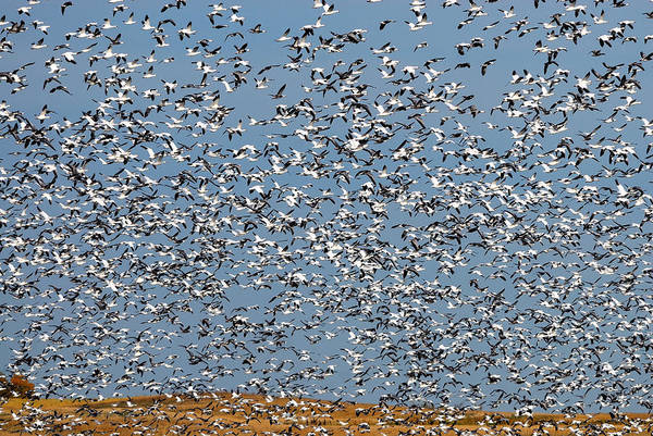 Gander Photograph - Lesser Snow Geese Migration by Tony Beck