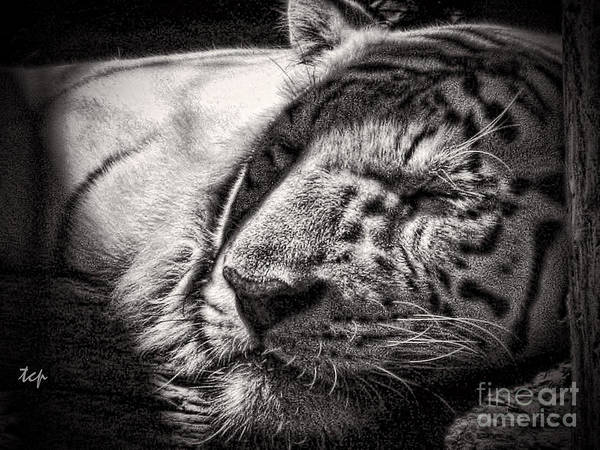 Photograph - Let Sleeping Tiger Lie by Traci Cottingham