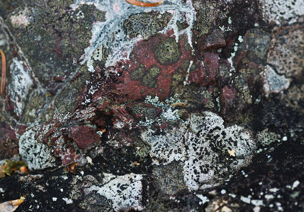 Lichens Photograph - Lichen Abstract II by Susan Capuano