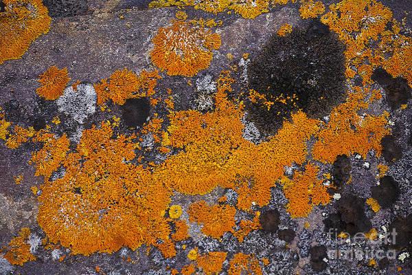 Orange Lichen Photograph - Lichen Pattern Series - 60 by Heiko Koehrer-Wagner