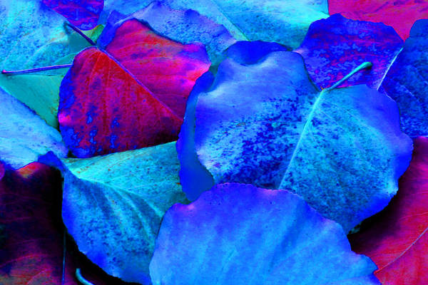 Photograph - Light Blue And Fuchsia Leaves by Sheila Kay McIntyre