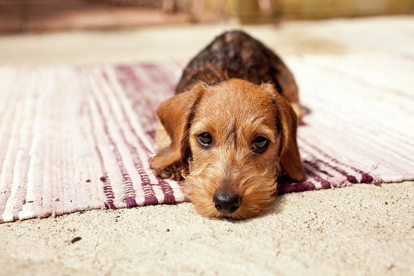Dogs Photograph - Light Brown Dachshund Puppy by Håkan Dahlström
