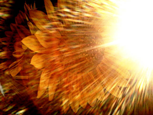 Sunflowers In A Vase Photograph - Light Shower by Jennifer Choate