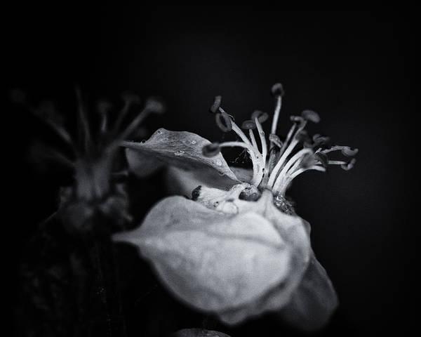 Apple Blossom Photograph - Like A Ballerina by Susan Capuano
