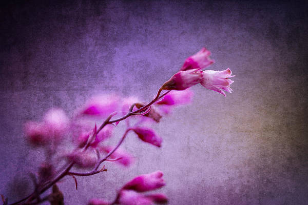 Photograph - Lilac And Pink Dream by Clare Bambers