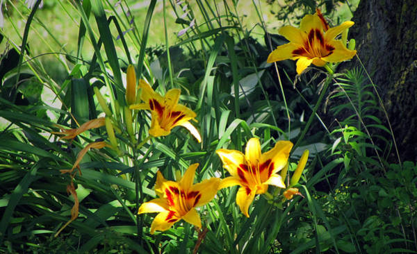 Photograph - Lilies In The Sunlight by Ms Judi