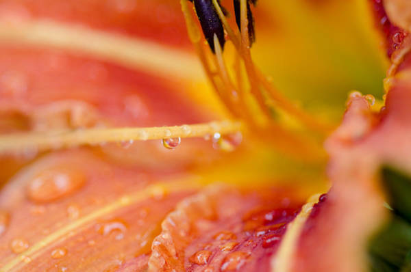 Photograph - Lily And Rain by Margaret Pitcher