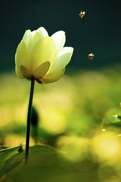 Photograph - Lily Bloom With Bees by Steven Llorca