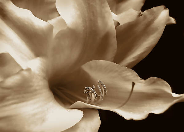 Wall Art - Photograph - Lily Flower In Sepia by Jennie Marie Schell
