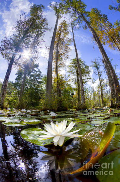 Lillypad Photograph - Lily Pad Flower In Cypress Swamp Forest by Dustin K Ryan