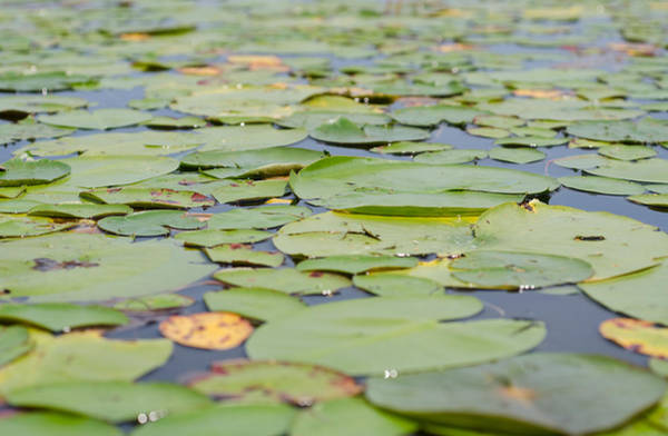 Photograph - Lily Pads On The Water by Margaret Pitcher