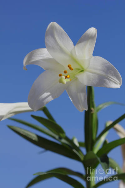 Photograph - Lily Plant by Donna L Munro