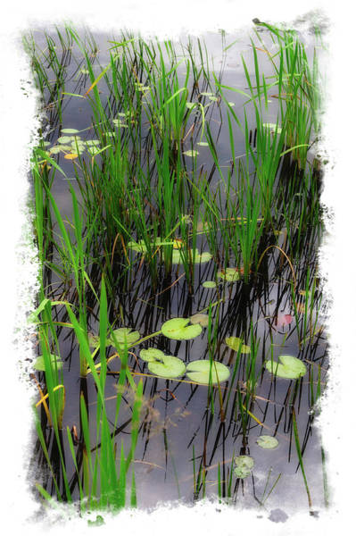 Photograph - Lily Pond by Harry Spitz