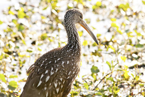 Photograph - Limpkin Luster by Steven Sparks