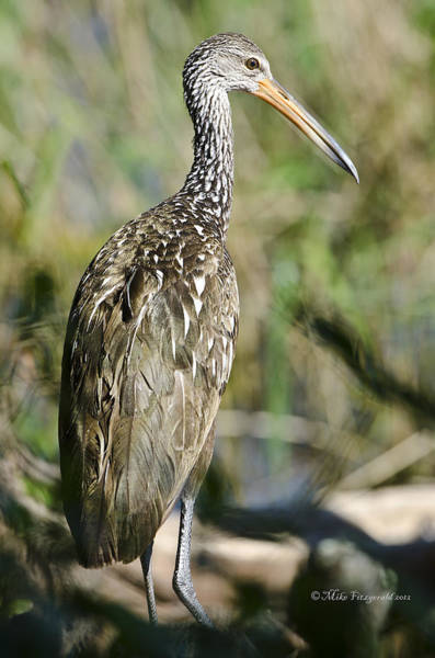 Photograph - Limpkin by Mike Fitzgerald