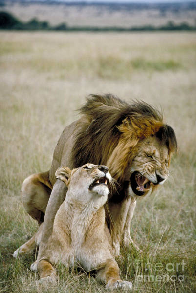 Photograph - Lion And Lioness Mating by Greg Dimijian