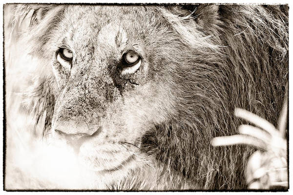 Photograph - Lion In Concentration by Perla Copernik