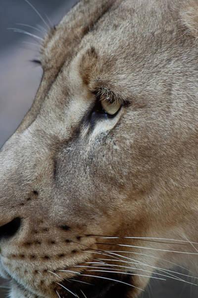 Photograph - Lion Portrait by James Woody