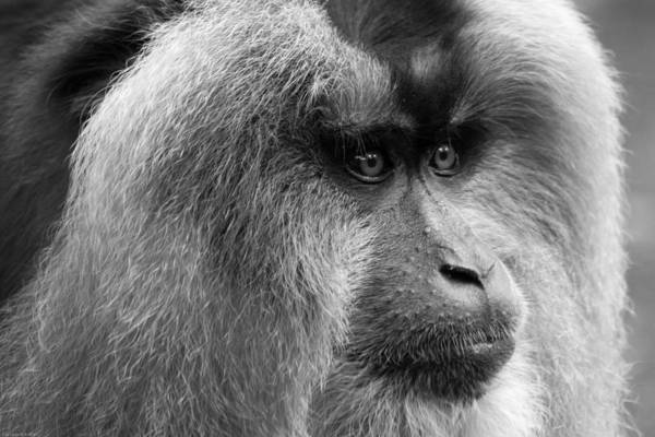 Photograph - Lion-tailed Macaque by Keith Allen