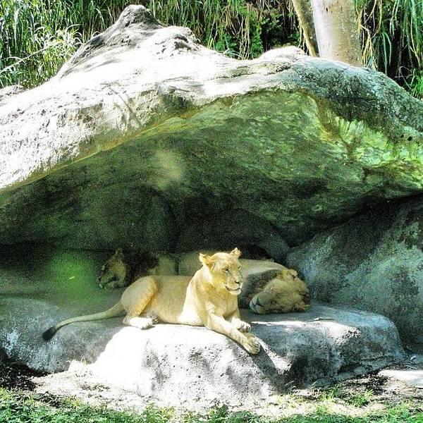 Wall Art - Photograph - Lioness In Her Den by Jessica Daubenmire