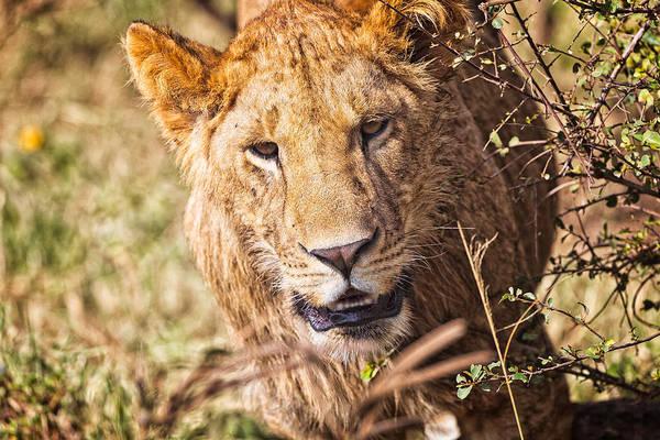Photograph - Lioness by Perla Copernik