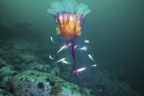 Lion's Mane Jellyfish Photograph - Lion's Mane Jellyfish And Navaga Fish by Alexander Semenov