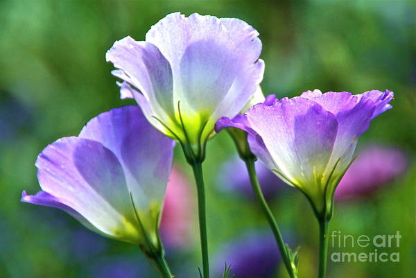 Photograph - Lisianthus Number 6 by Byron Varvarigos