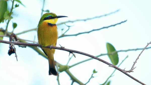 Photograph - Little Bee-eater by Mareko Marciniak