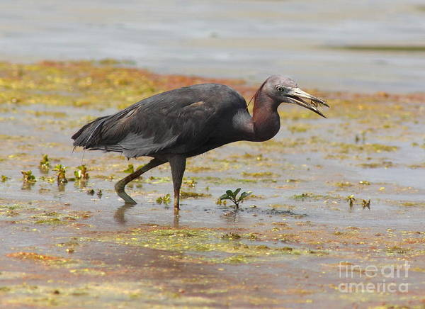 Little Blue Heron Photograph - Little Blue Heron In Swamp by Robert Frederick