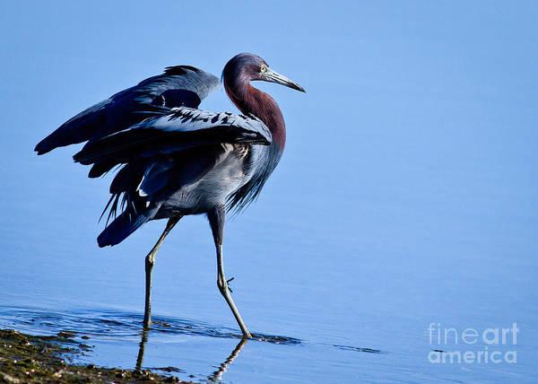 Little Blue Heron Photograph - Little Blue Strut by Carl Jackson