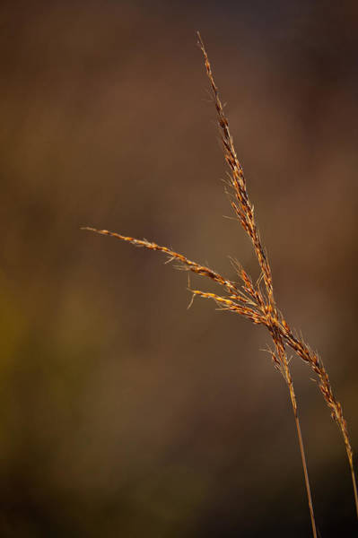 Seed Head Wall Art - Photograph - Little Bluestem On The Prairie by Steve Gadomski