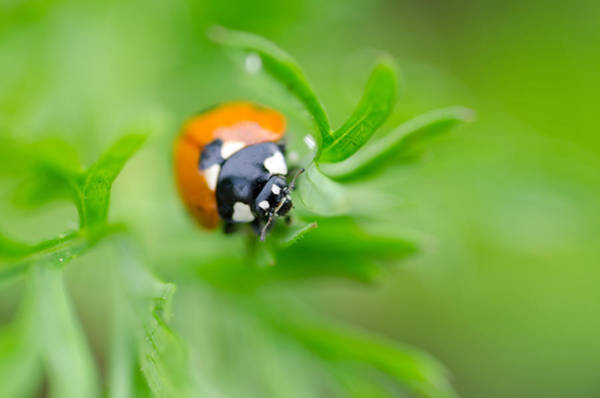Photograph - Little Climbing Lady Bug by Margaret Pitcher