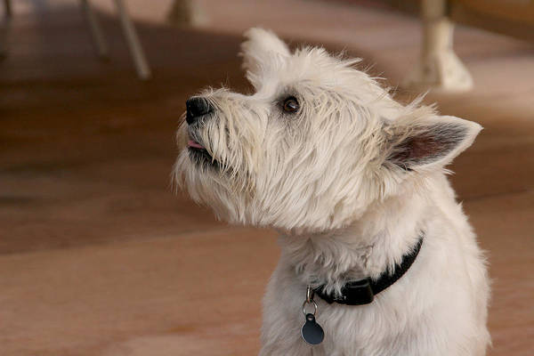 Photograph - Little Dog Listening by Diana Haronis