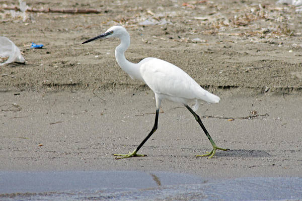 Photograph - Little Egret by Tony Murtagh