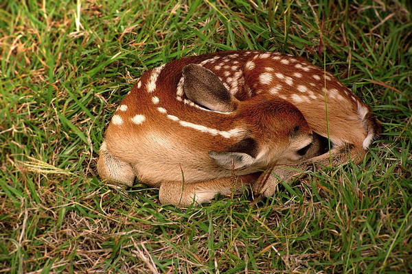 Rader Photograph - Little Fawn by Kelly Rader