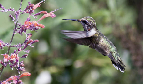 Photograph - Little Hummer by Pam  Holdsworth