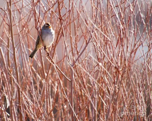 Photograph - Little Sparrow by Sabrina L Ryan