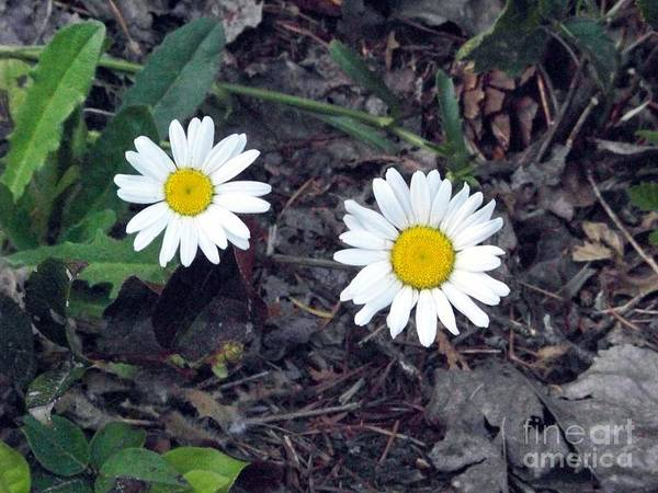 Photograph - Little White Daisies by Charles Robinson