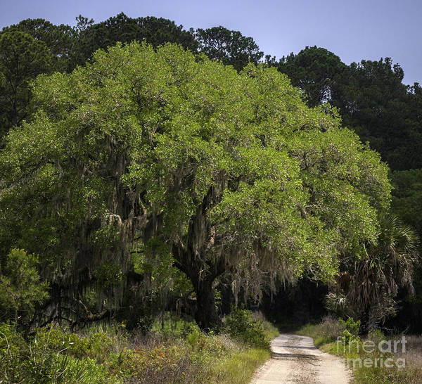 Photograph - Live Oak And Road by David Waldrop
