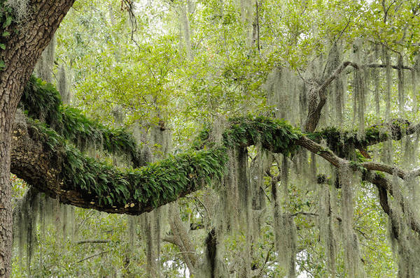 Photograph - Live Oak With Ferns And Spanish Moss by Bradford Martin