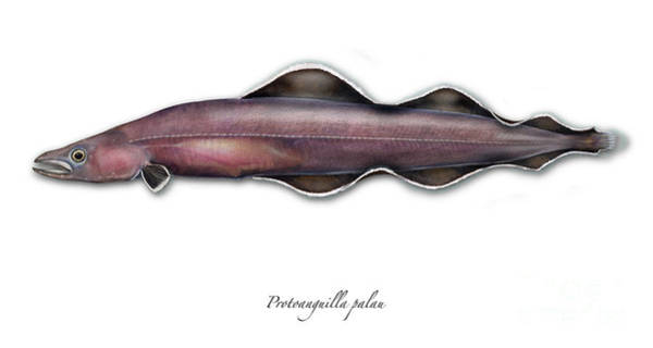 Painting - Living Fossil Eel - Protoanguilla Palau - Isle Of Palau by Urft Valley Art
