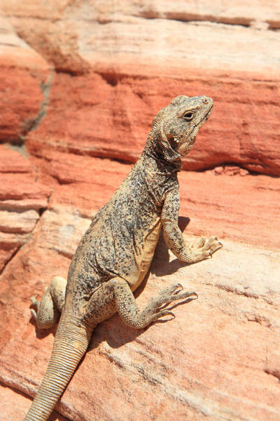 Photograph - Lizard Close Up Valley Of Fire by Pierre Leclerc Photography