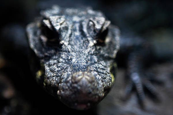Photograph - Lizard Fierce by Lorraine Devon Wilke