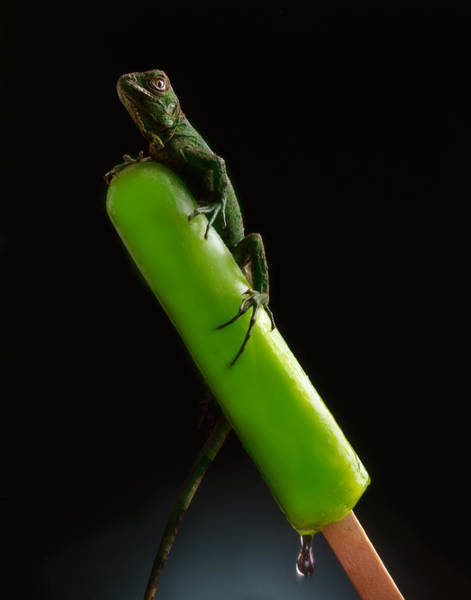 Lizard Photograph - Lizard On Popsicle by John Wong