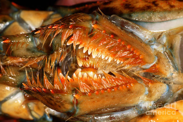 Northern Maine Wall Art - Photograph - Lobster Mouth by Ted Kinsman