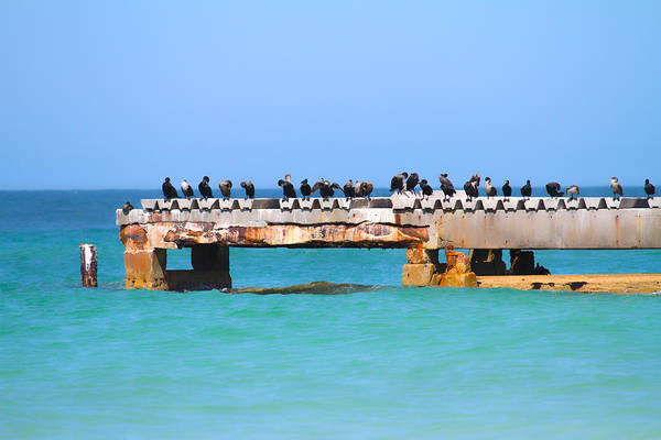 Double Crested Cormorant Photograph - Local Hangout by Betsy Knapp