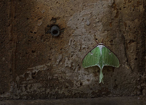 Moth Photograph - Loitering by Susan Capuano