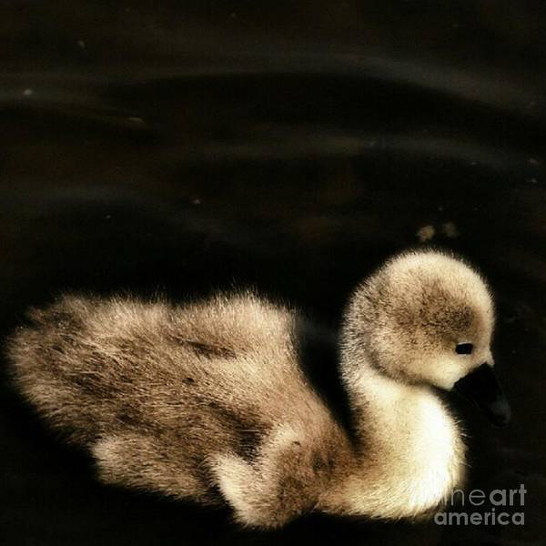 Bird Photograph - Lone Cygnet by Abbie Shores