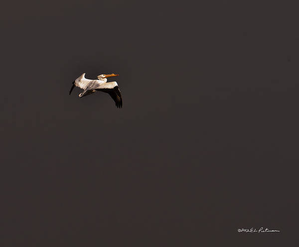 Photograph - Lone Flight by Edward Peterson